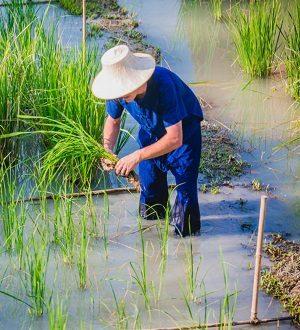 Thai farmer, Koh Samui