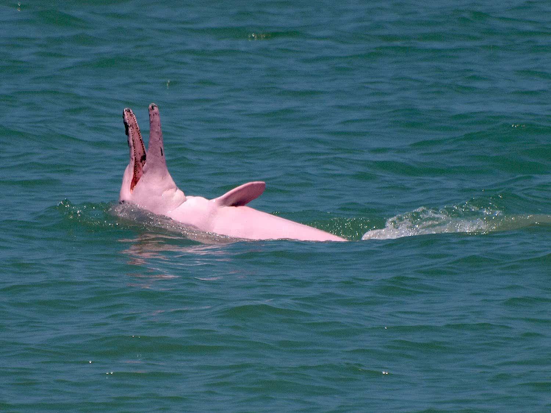 Pink Dolphins tour, Koh Samui, Thailand